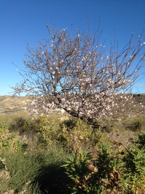 The first almond blossom